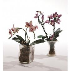Vlinderorchidee  / phalaenopsis